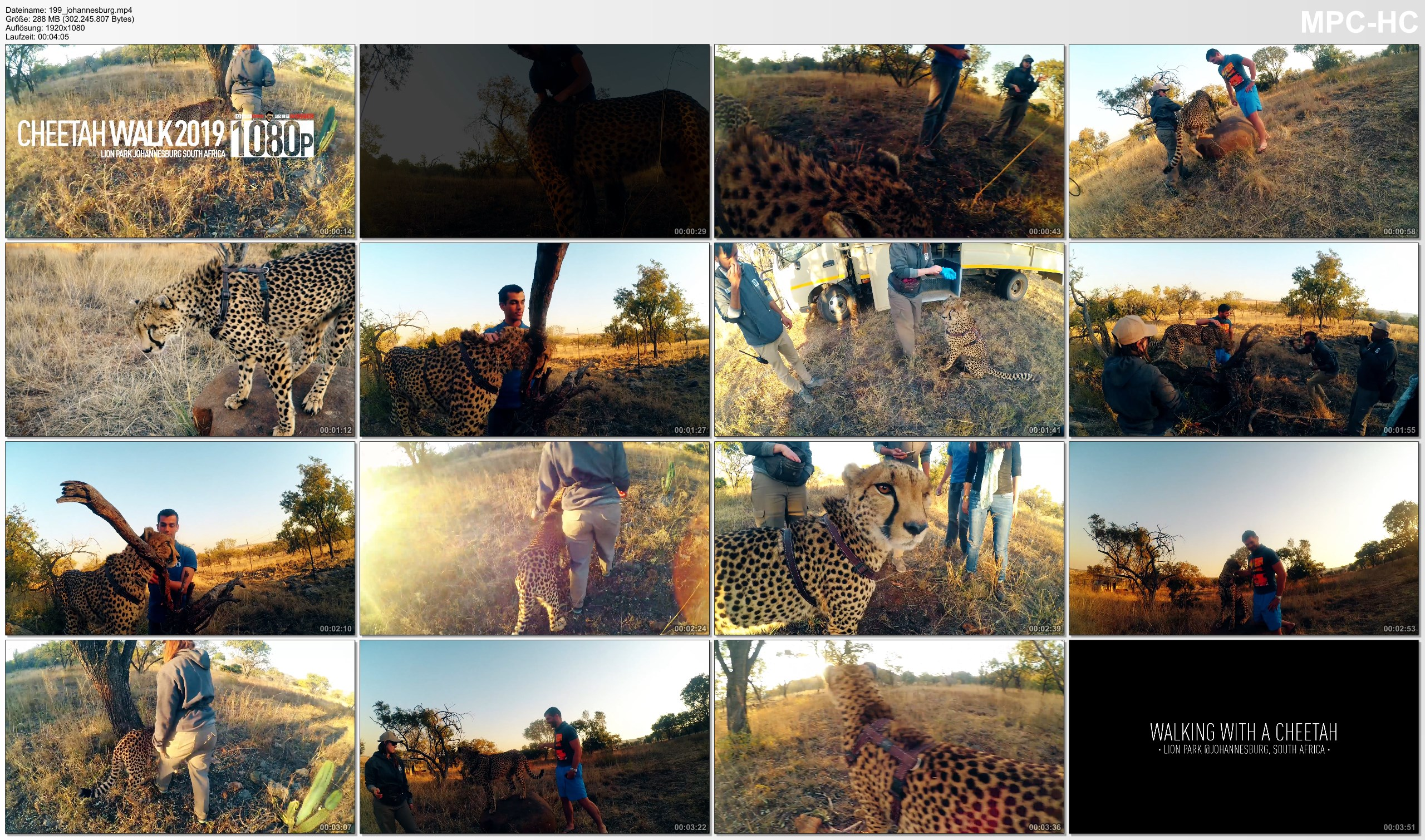 Pictures from Video 【1080p】Footage | Walking with a CHEETAH 2019 ..:: Lion & Safari Park @Johannesburg, South Africa