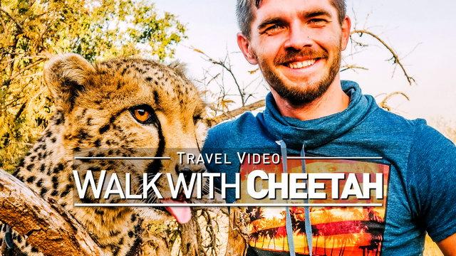 【1080p】Footage | Walking with a CHEETAH 2019 ..:: Lion & Safari Park @Johannesburg, South Africa