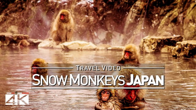 【1080p】Footage | Jigokudani SNOW MONKEYS 2019 ..: Japanese Macaques | Hot Bath in Nagano Monkey Park