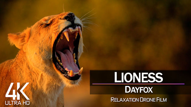 【4K】LYRICS: «Lioness» | DAYFOX | 2021 | with Aerial Drone Footage